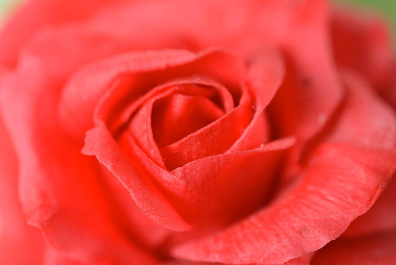 Beautiful handmade designer polymer clay flower brooch hair clip Red Rose photo 2
